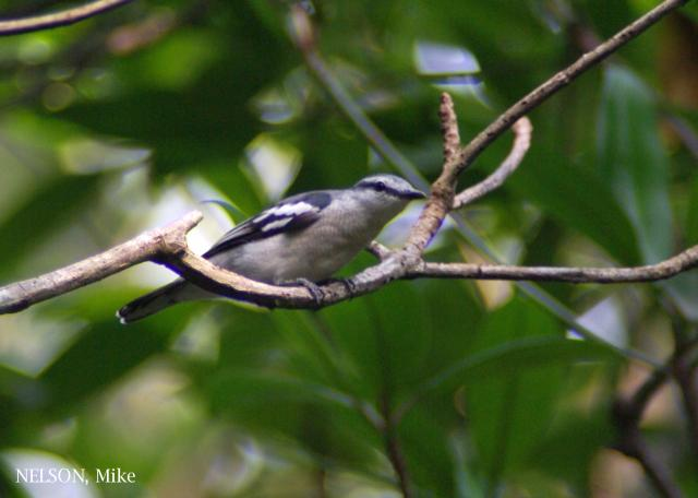 image 6400 of Pied Triller
