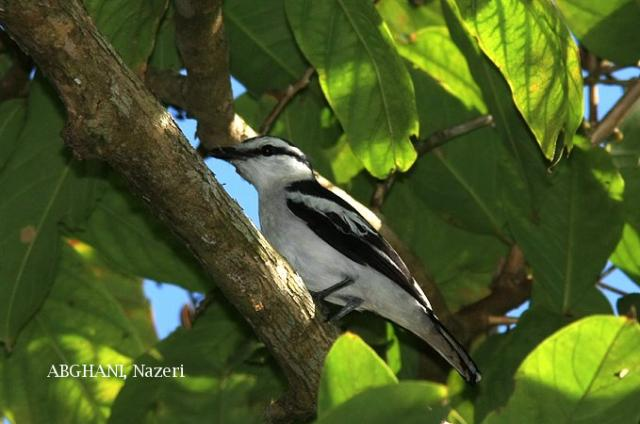 image 4737 of Pied Triller