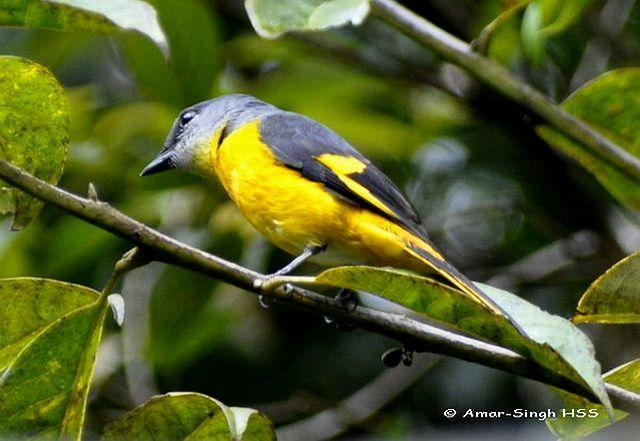image 4409 of Grey-chinned Minivet