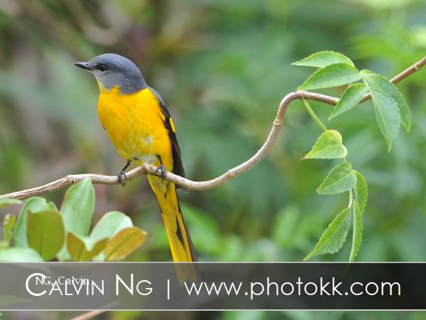 image 5083 of Grey-chinned Minivet