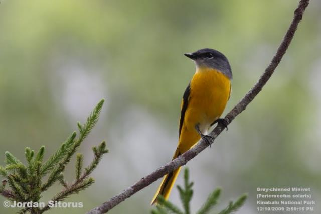 image 3404 of Grey-chinned Minivet