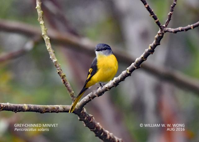 image 8059 of Grey-chinned Minivet