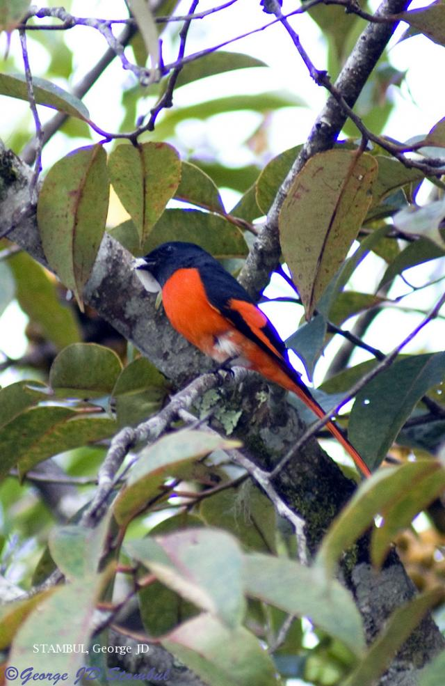 image 6018 of Grey-chinned Minivet