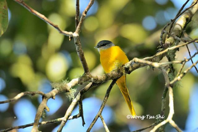 image 1315 of Grey-chinned Minivet