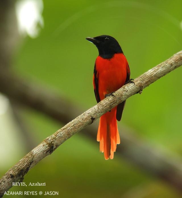 image 3354 of Scarlet Minivet