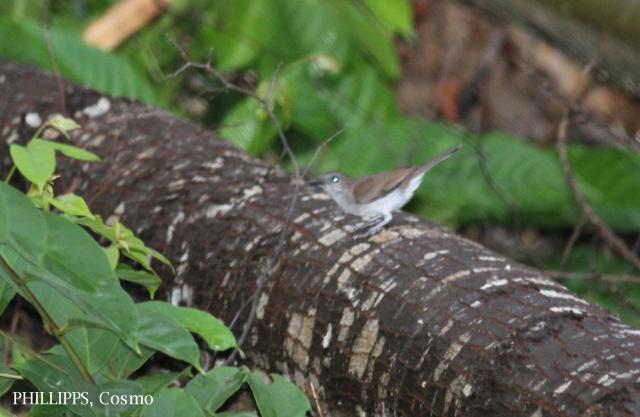 image 5369 of Mangrove Whistler