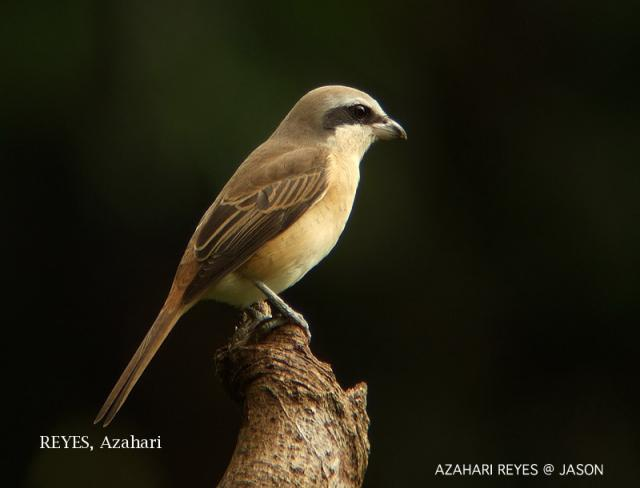 image 3352 of Brown Shrike