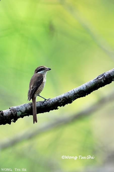 image 6169 of Brown Shrike