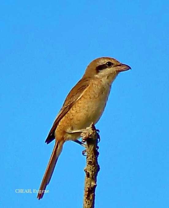 image 6438 of Brown Shrike