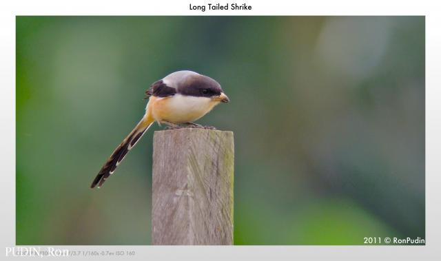 image 6501 of Long-tailed Shrike