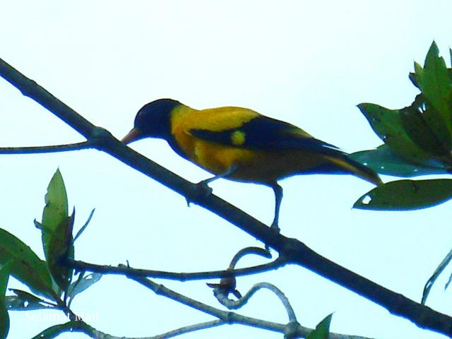image 7277 of Black-hooded Oriole