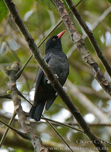 image 6218 of Bornean Oriole