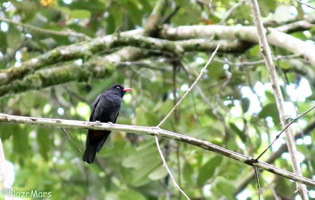 image 8340 of Bornean Oriole