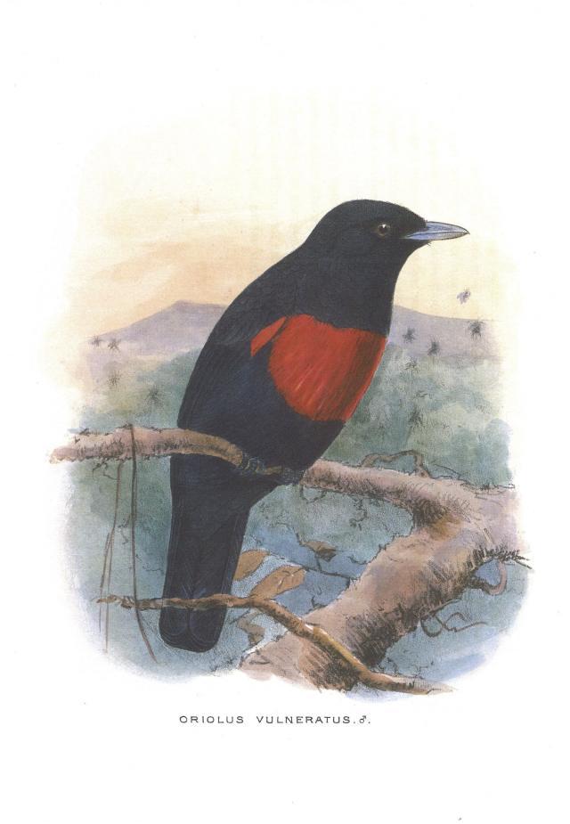 image 3671 of Black-and-Crimson Oriole