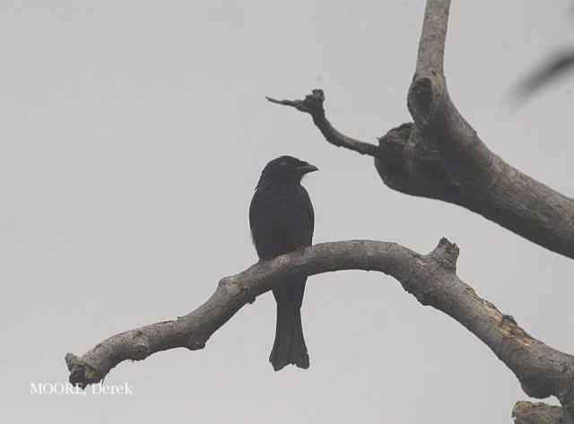 image 5471 of Crow-billed Drongo