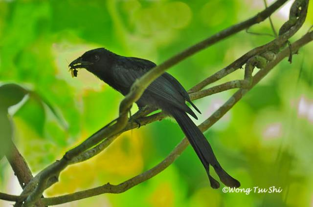 image 1330 of Crow-billed Drongo
