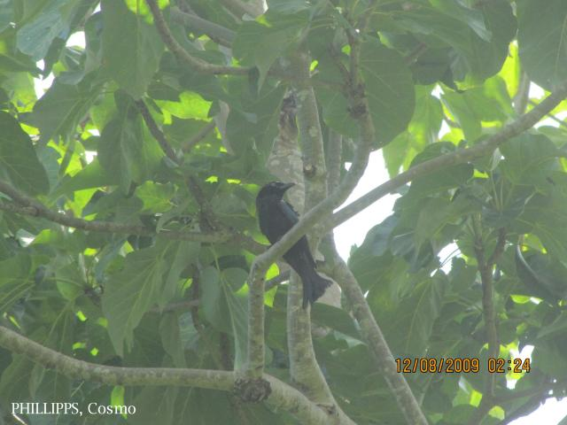 image 5373 of Hair-crested Drongo