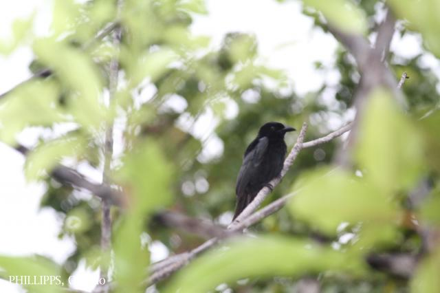 image 5374 of Hair-crested Drongo