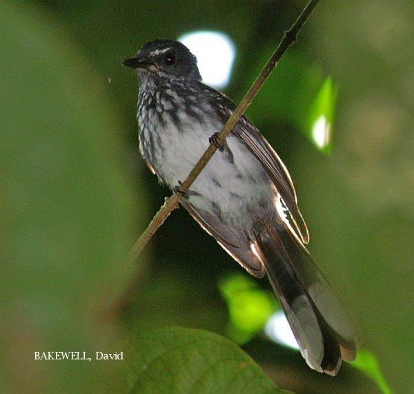 image 3976 of Spotted Fantail