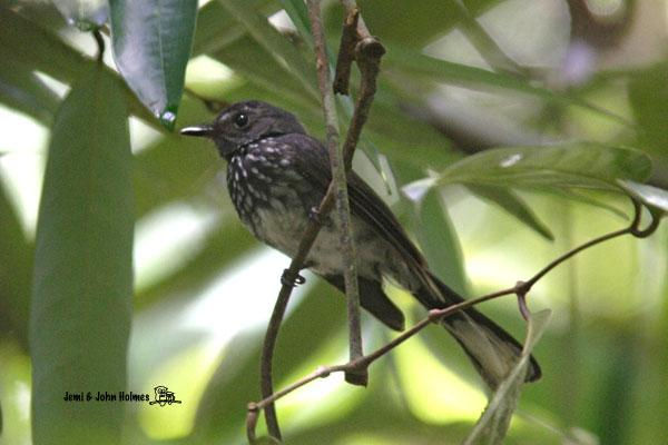 image 2482 of Spotted Fantail