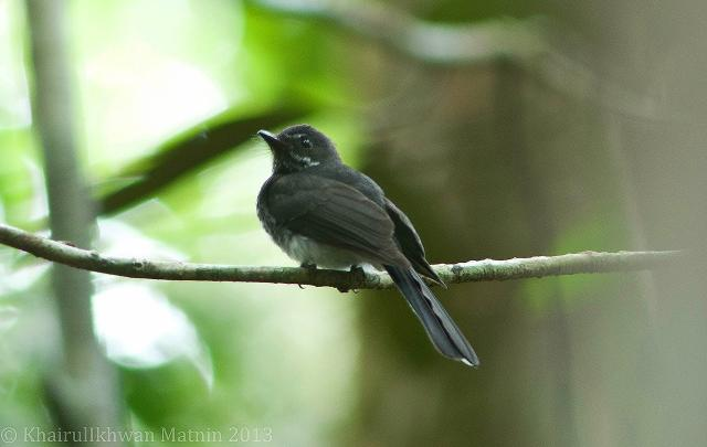 image 6836 of Spotted Fantail
