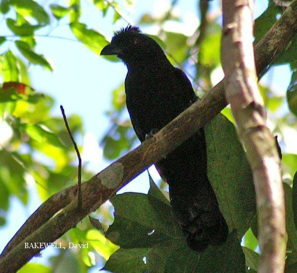 image 3977 of Black Magpie