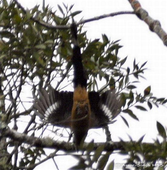 image 4415 of Bornean Treepie