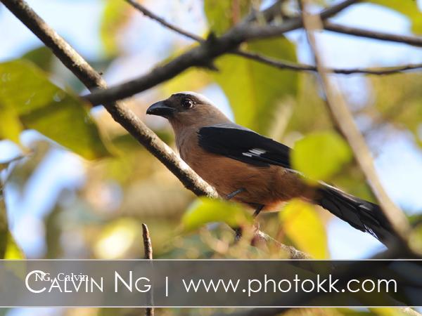 image 5055 of Bornean Treepie