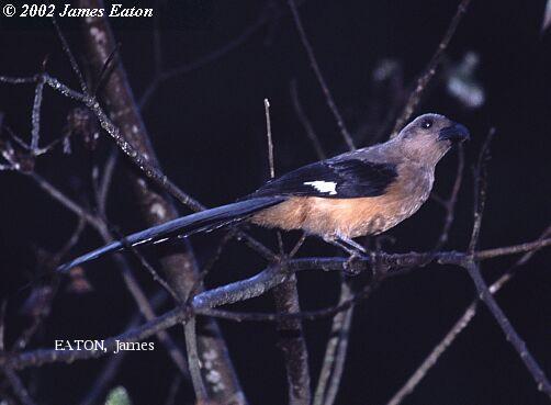 image 2221 of Bornean Treepie