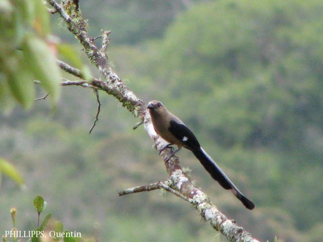 image 1650 of Bornean Treepie