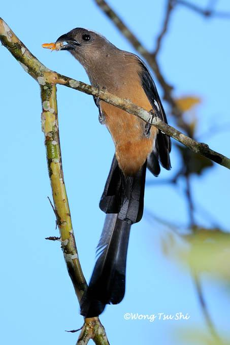 image 650 of Bornean Treepie