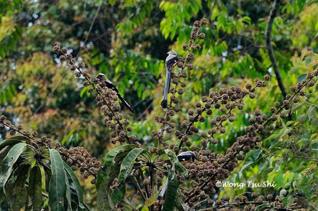 image 771 of Bornean Treepie