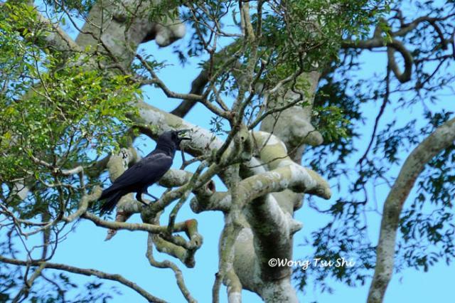 image 652 of Slender-billed Crow
