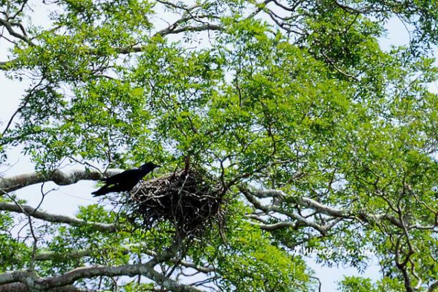 image 653 of Slender-billed Crow