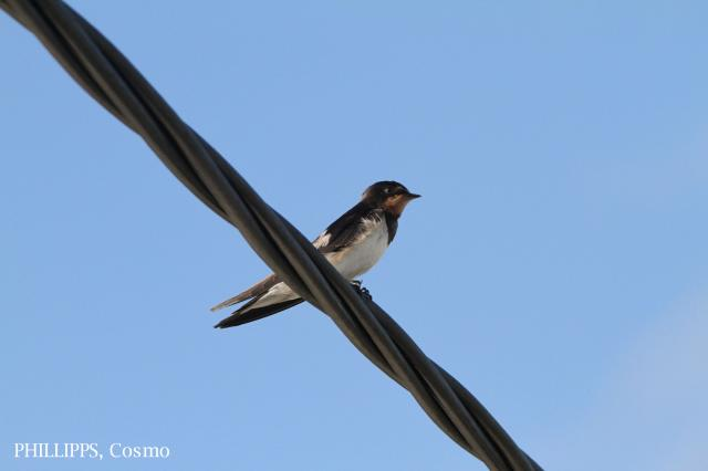 image 5385 of Barn Swallow