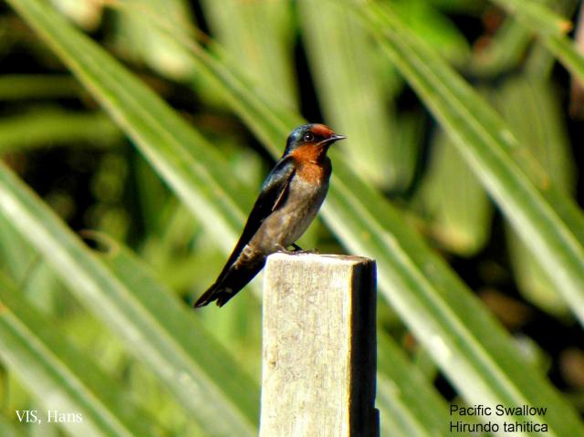 image 5623 of Pacific Swallow