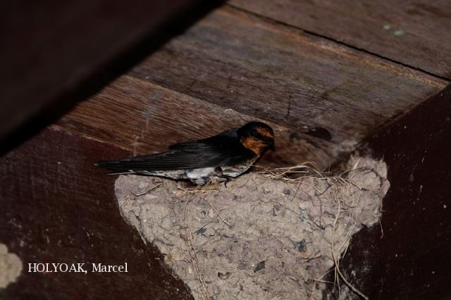 image 1946 of Pacific Swallow