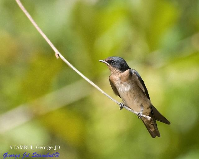 image 6031 of Pacific Swallow