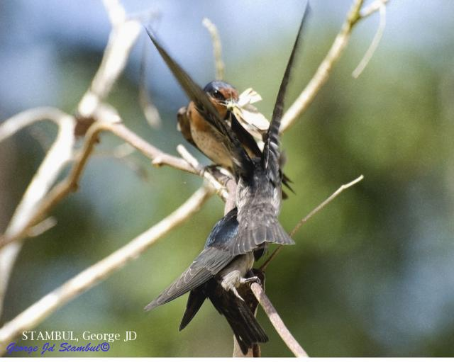 image 6029 of Pacific Swallow