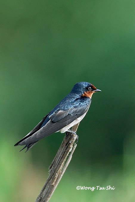 image 564 of Pacific Swallow