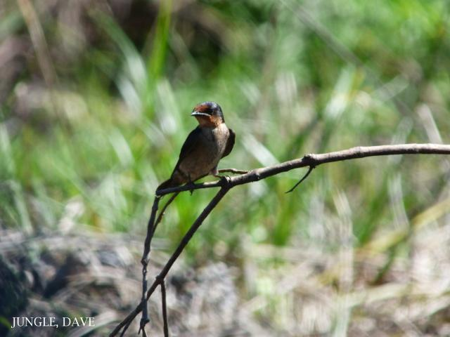 image 7941 of Pacific Swallow