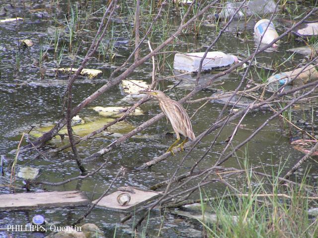 image 1429 of Yellow Bittern