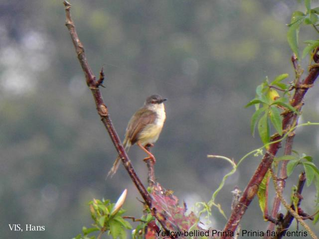 image 5624 of Yellow-bellied Prinia