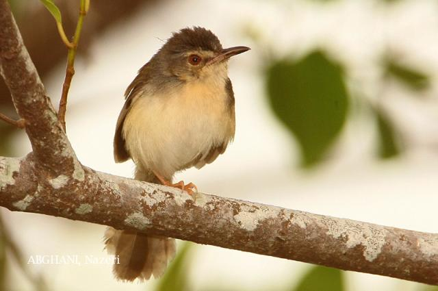 image 4722 of Yellow-bellied Prinia