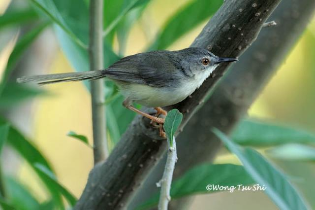 image 914 of Yellow-bellied Prinia