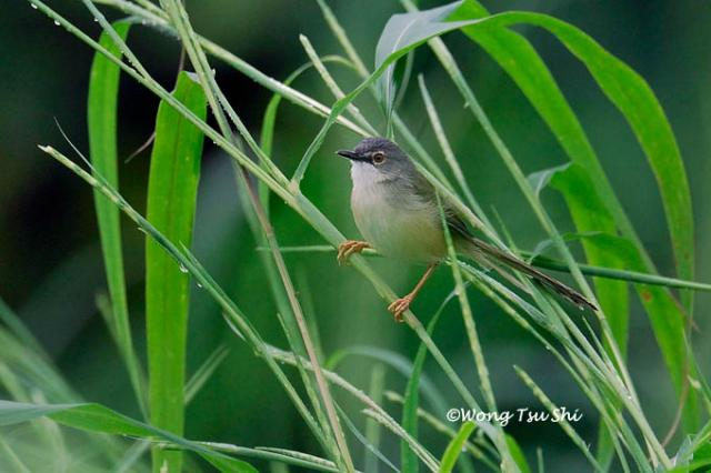 image 505 of Yellow-bellied Prinia
