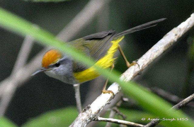 image 4418 of Mountain Tailorbird