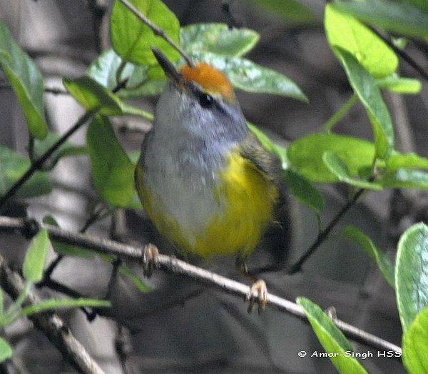 image 4417 of Mountain Tailorbird