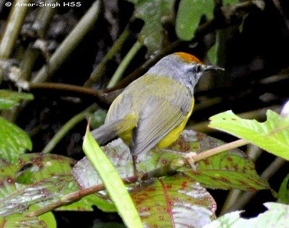 image 4416 of Mountain Tailorbird