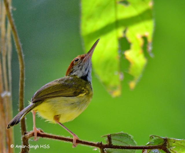 image 7689 of Dark-necked Tailorbird